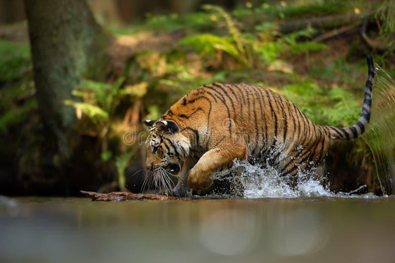 Σιβηρική τίγρη στο δασικό ποταμό με το ράντισμα του νερού Επιθετικό ζώο στο φυσικό βιότοπο Altaica του Τίγρη Panthera στοκ φωτογραφίες με δικαίωμα ελεύθερης χρήσης