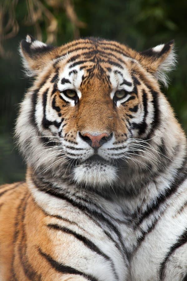 σιβηρική τίγρη Τίγρης panthera altaica στοκ φωτογραφία με δικαίωμα ελεύθερης χρήσης