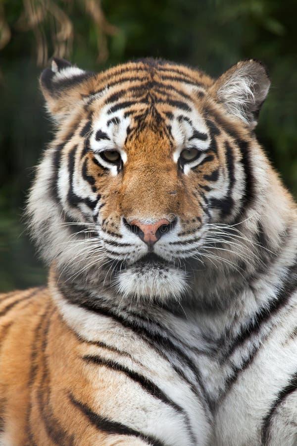 σιβηρική τίγρη Τίγρης panthera altaica στοκ εικόνες με δικαίωμα ελεύθερης χρήσης