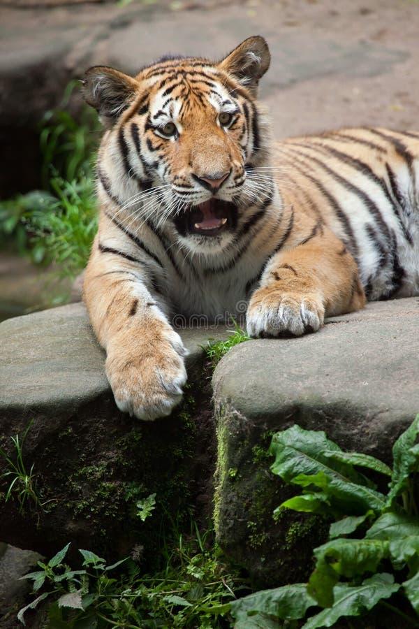 σιβηρική τίγρη Τίγρης panthera altaica στοκ εικόνα με δικαίωμα ελεύθερης χρήσης
