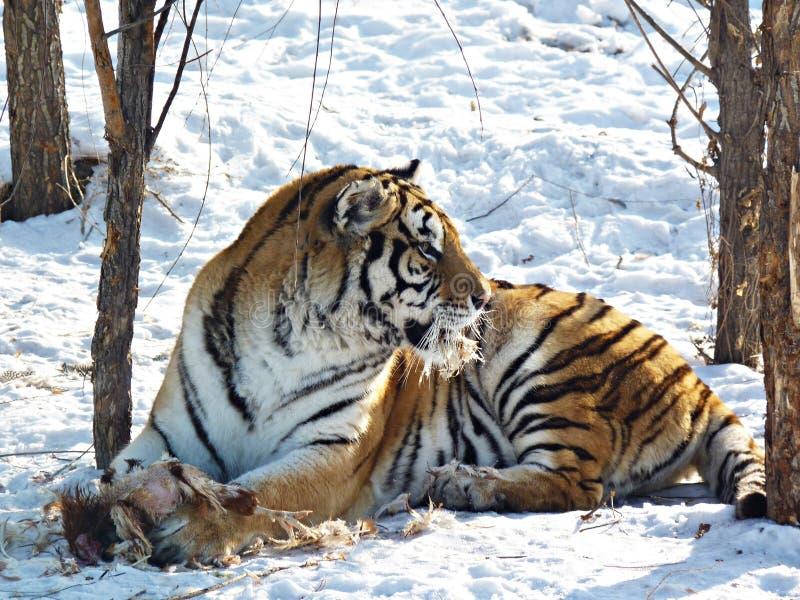 σιβηρική τίγρη στοκ φωτογραφία