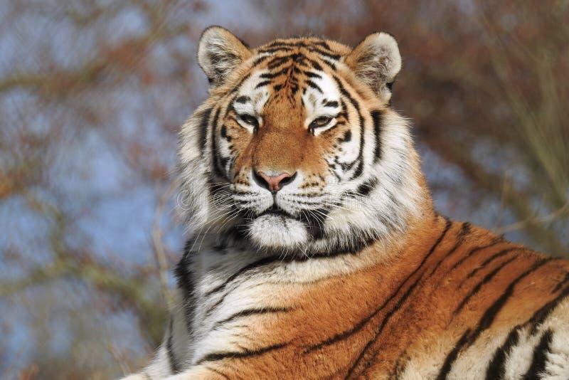 Σιβηρική τίγρη Panthera Τίγρης Altaica που φαίνεται υπερήφανη και βασιλοπρεπής στοκ φωτογραφία