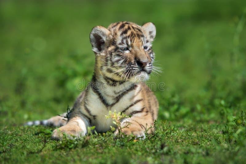 Σιβηρική cub τιγρών τοποθέτηση στη χλόη στοκ εικόνες