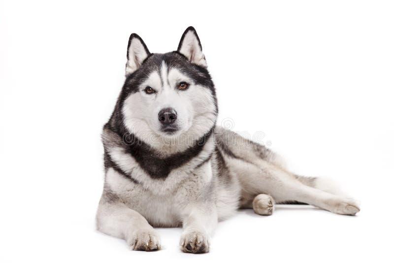 Σιβηρικός γεροδεμένος σκυλιών σε ένα άσπρο υπόβαθρο στοκ εικόνα με δικαίωμα ελεύθερης χρήσης