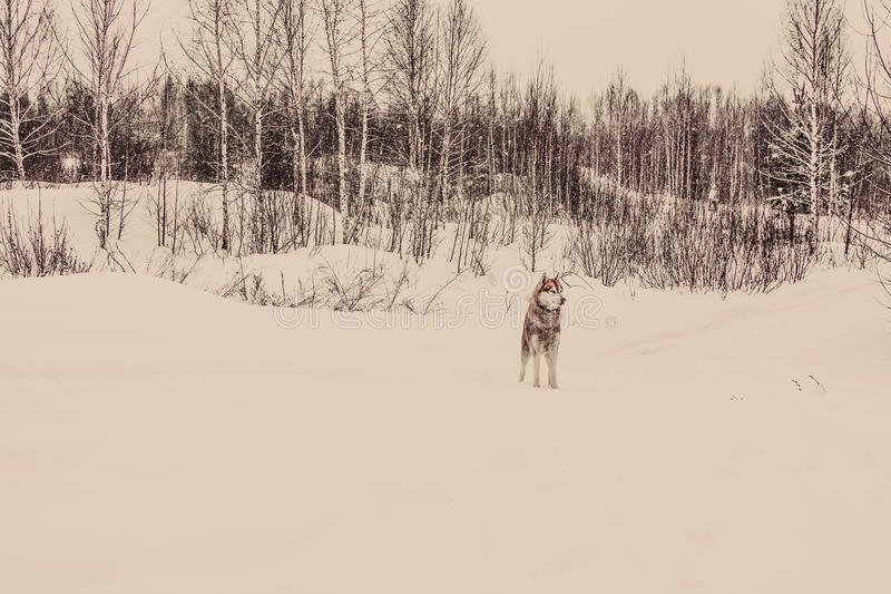 Σιβηρικός γεροδεμένος στο χειμερινό δάσος που βάφεται στοκ φωτογραφία με δικαίωμα ελεύθερης χρήσης
