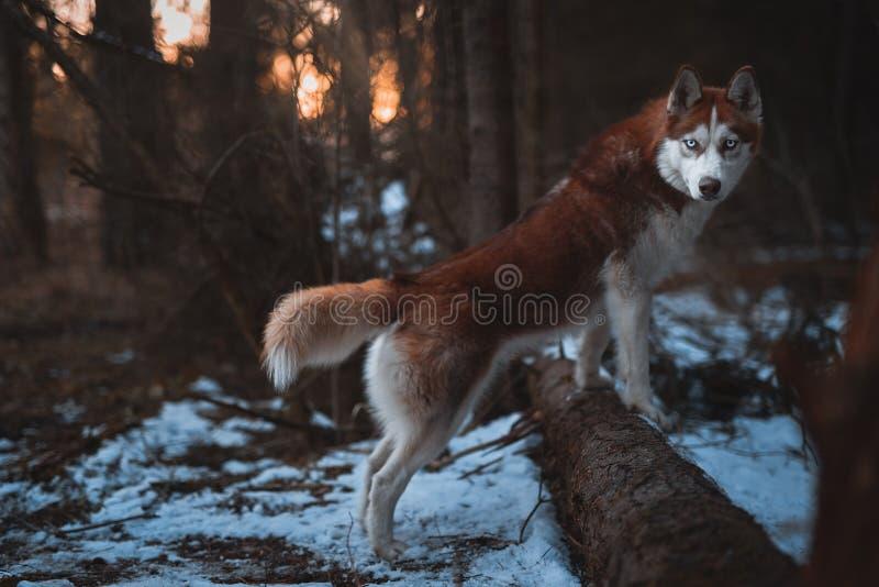 Σιβηρικός γεροδεμένος φυλής σκυλιών περπατώντας την άνοιξη τη δασική ανατολή υποβάθρου στοκ φωτογραφία