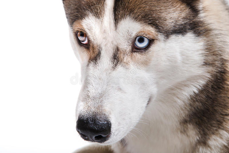 Σιβηρικός γεροδεμένος φυλής σκυλιών σε ένα άσπρο υπόβαθρο στοκ φωτογραφίες