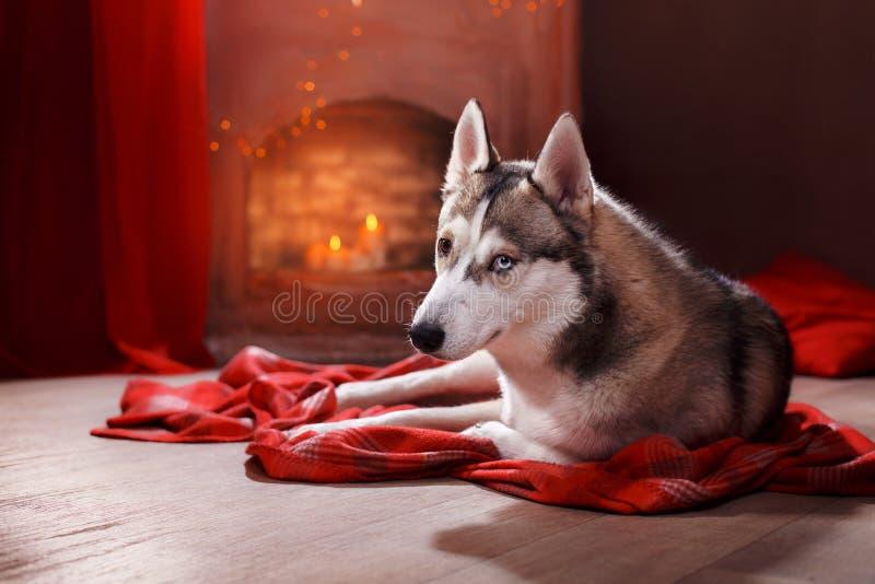 Σιβηρικός γεροδεμένος φυλής σκυλιών σε ένα studiobackground στοκ εικόνες