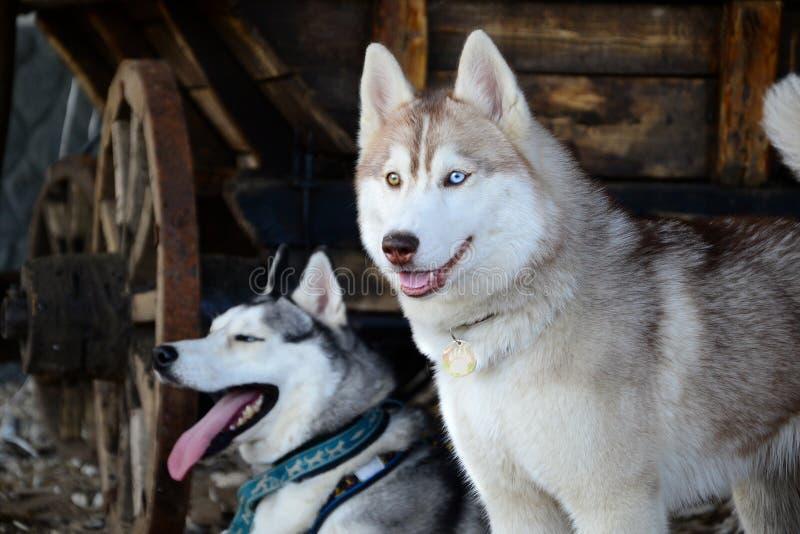 Σιβηρικός γεροδεμένος φυλής σκυλιών σε μια αγροτική σιταποθήκη στοκ εικόνα με δικαίωμα ελεύθερης χρήσης
