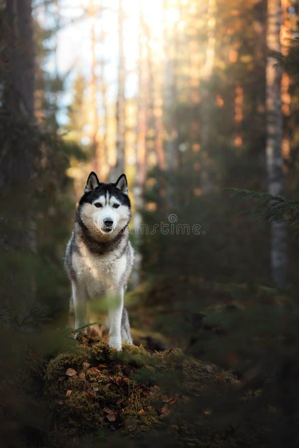 Σιβηρικός γεροδεμένος φυλής σκυλιών στοκ εικόνες