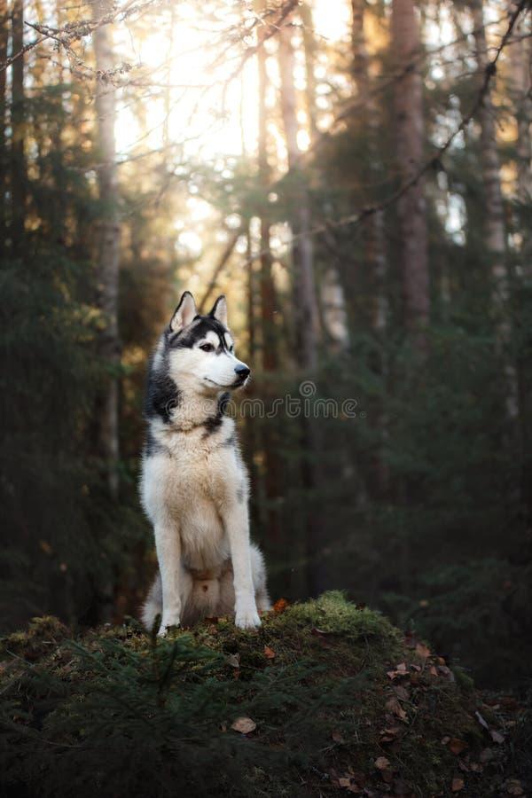 Σιβηρικός γεροδεμένος φυλής σκυλιών στοκ φωτογραφία με δικαίωμα ελεύθερης χρήσης