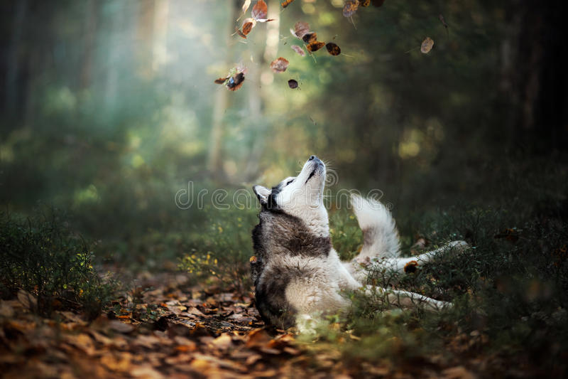 Σιβηρικός γεροδεμένος φυλής σκυλιών στοκ φωτογραφίες
