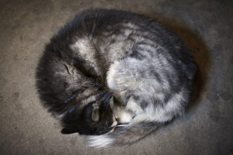 Σιβηρικός γεροδεμένος ύπνος στοκ εικόνες με δικαίωμα ελεύθερης χρήσης