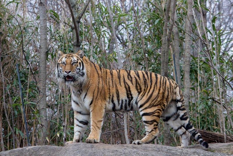 Σιβηρικός ζωολογικός κήπος Νέα Υόρκη Bronx τιγρών στοκ φωτογραφίες