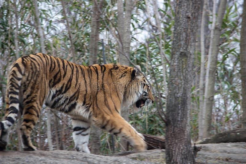 Σιβηρικός ζωολογικός κήπος Νέα Υόρκη Bronx τιγρών στοκ φωτογραφίες με δικαίωμα ελεύθερης χρήσης