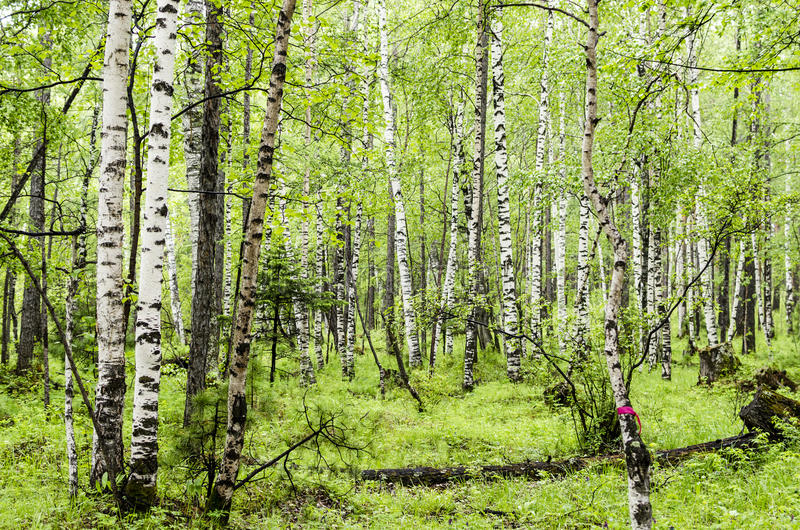 Σιβηρικό δάσος σημύδων στην περιοχή Arshan Buryatia στοκ φωτογραφίες