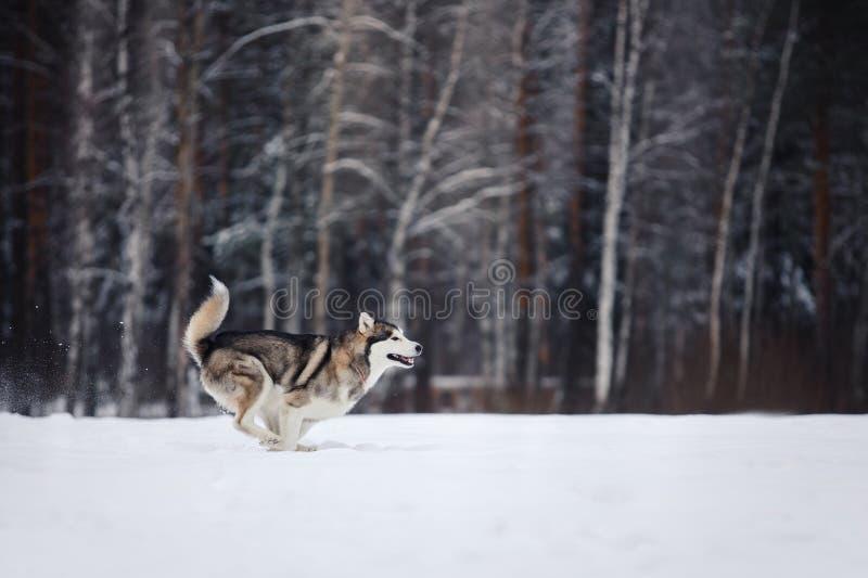 Σιβηρικό γεροδεμένο τρέξιμο φυλής σκυλιών σε έναν χιονώδη στοκ εικόνα