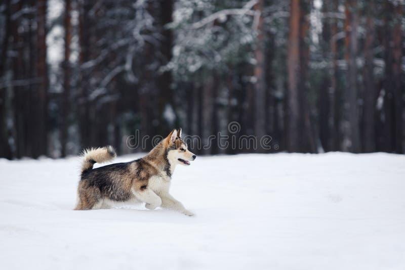 Σιβηρικό γεροδεμένο τρέξιμο φυλής σκυλιών σε έναν χιονώδη στοκ φωτογραφίες με δικαίωμα ελεύθερης χρήσης