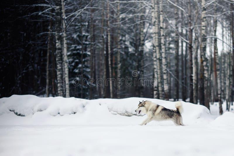 Σιβηρικό γεροδεμένο τρέξιμο φυλής σκυλιών σε έναν χιονώδη στοκ φωτογραφία με δικαίωμα ελεύθερης χρήσης