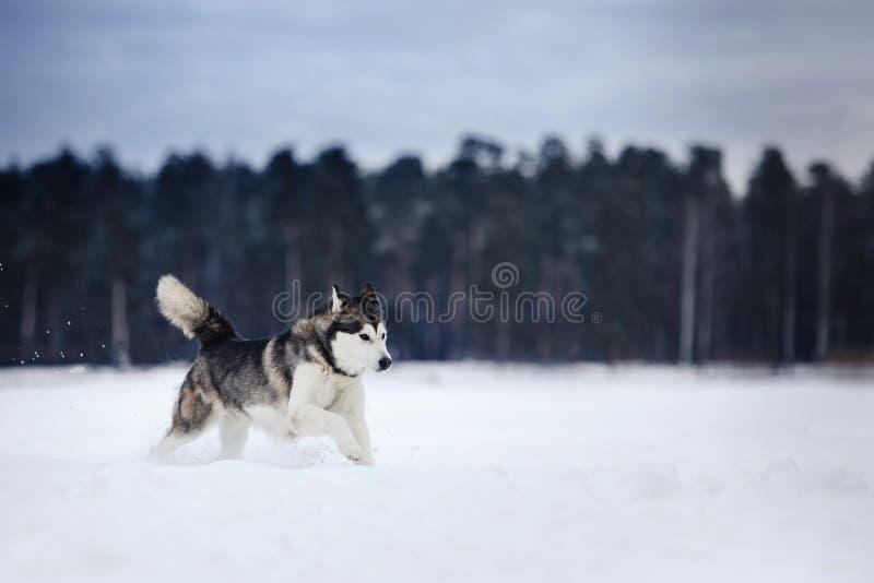 Σιβηρικό γεροδεμένο τρέξιμο φυλής σκυλιών σε έναν χιονώδη στοκ φωτογραφία