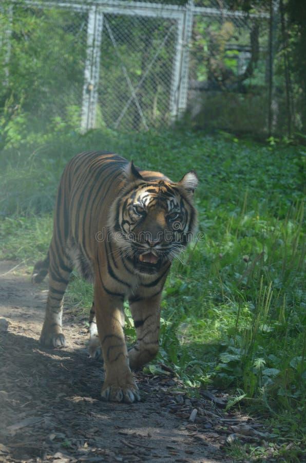Σιβηρικό altaica Panthera Τίγρης τιγρών στοκ φωτογραφία