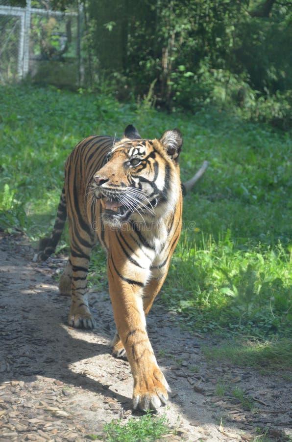 Σιβηρικό altaica Panthera Τίγρης τιγρών στοκ φωτογραφία με δικαίωμα ελεύθερης χρήσης