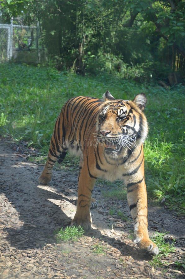Σιβηρικό altaica Panthera Τίγρης τιγρών στοκ φωτογραφίες με δικαίωμα ελεύθερης χρήσης