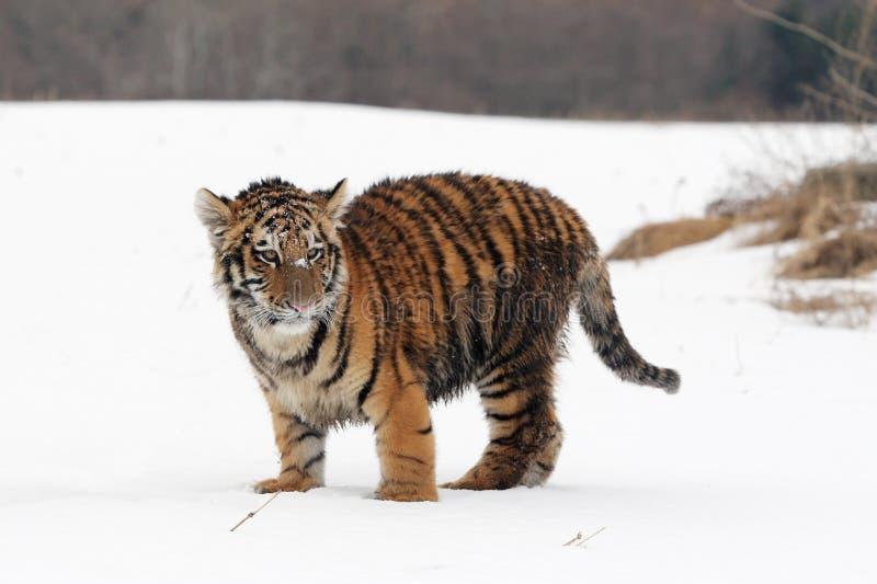 Σιβηρικό cub τιγρών στοκ φωτογραφίες