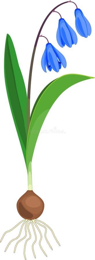 Σιβηρικό squill ή φυτό siberica Scilla με τα μπλε λουλούδια, τα πράσινους φύλλα και το βολβό στοκ φωτογραφία