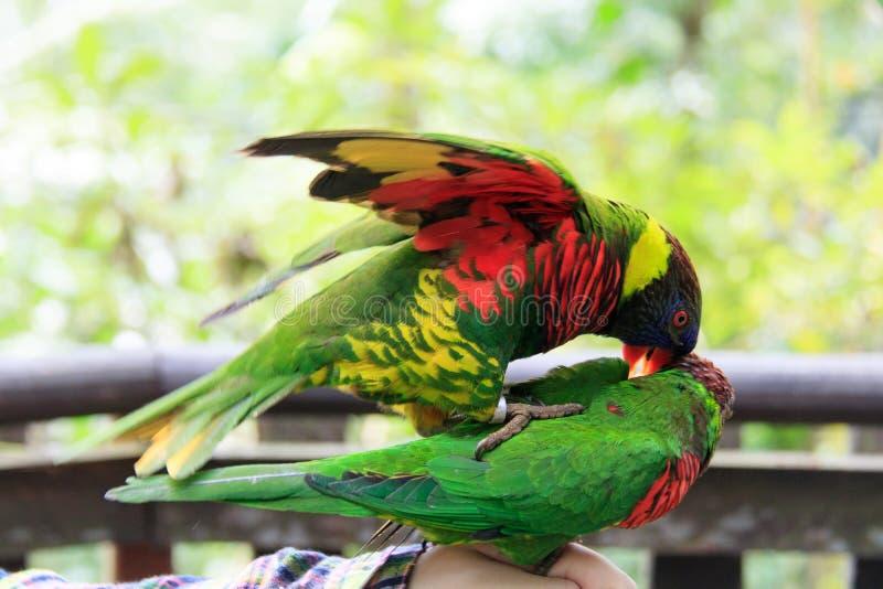 Σιγκαπούρη - ΑΥΓΟΥΣΤΟΣ 06, 2019: Coconut lorkeet και Rainbow Λόριξ που αγαπούν τους Psittaciformes Psittaculidae Trichoglossus T  στοκ φωτογραφία με δικαίωμα ελεύθερης χρήσης