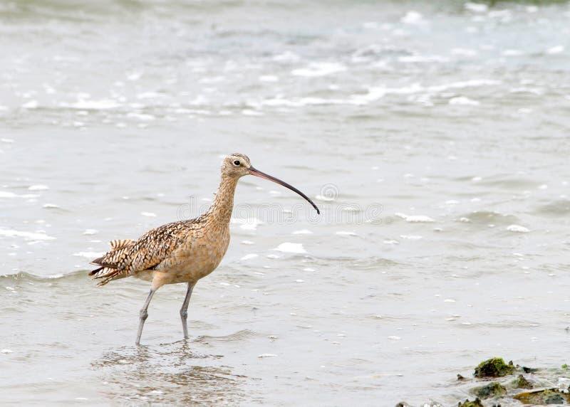 Σιγλίγουρος που στέκεται στα ρηχά νερά στην παραλία στοκ εικόνες
