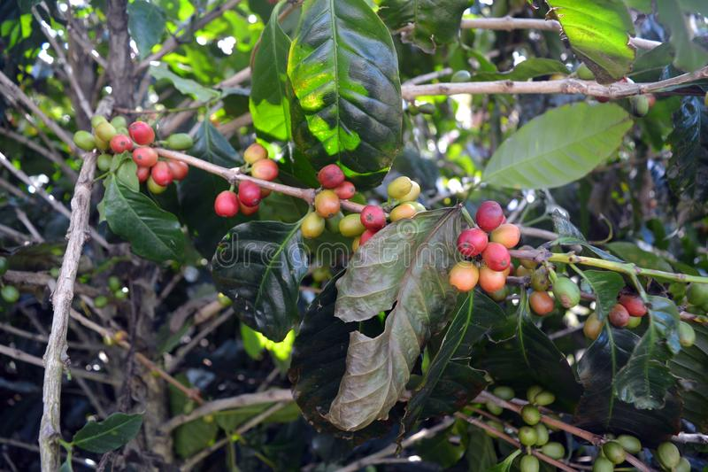 Σιτάρια καφέ των ποικιλιών βαθμών ripeness στους κλάδους των θάμνων καφέ σε μια φυτεία στη Κόστα Ρίκα στοκ φωτογραφία με δικαίωμα ελεύθερης χρήσης