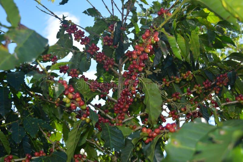 Σιτάρια καφέ των ποικιλιών βαθμών ripeness στους κλάδους των θάμνων καφέ σε μια φυτεία στη Κόστα Ρίκα στοκ φωτογραφία