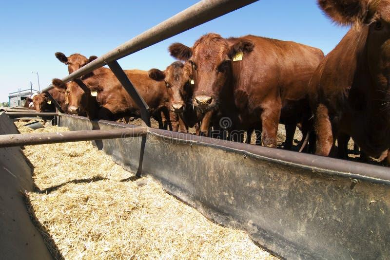 σιτάρι αγελάδων στοκ εικόνα