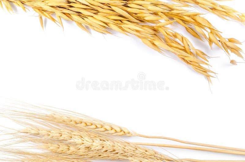 Σιτάρι κριθαριού και βρωμών που απομονώνεται στο άσπρο υπόβαθρο στοκ φωτογραφία με δικαίωμα ελεύθερης χρήσης