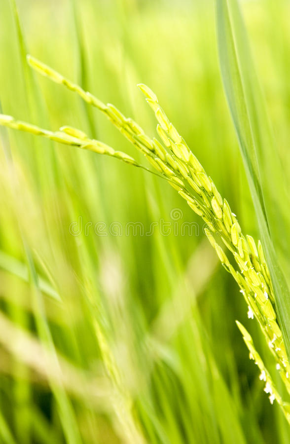 Σιτάρι του ρυζιού στοκ φωτογραφίες