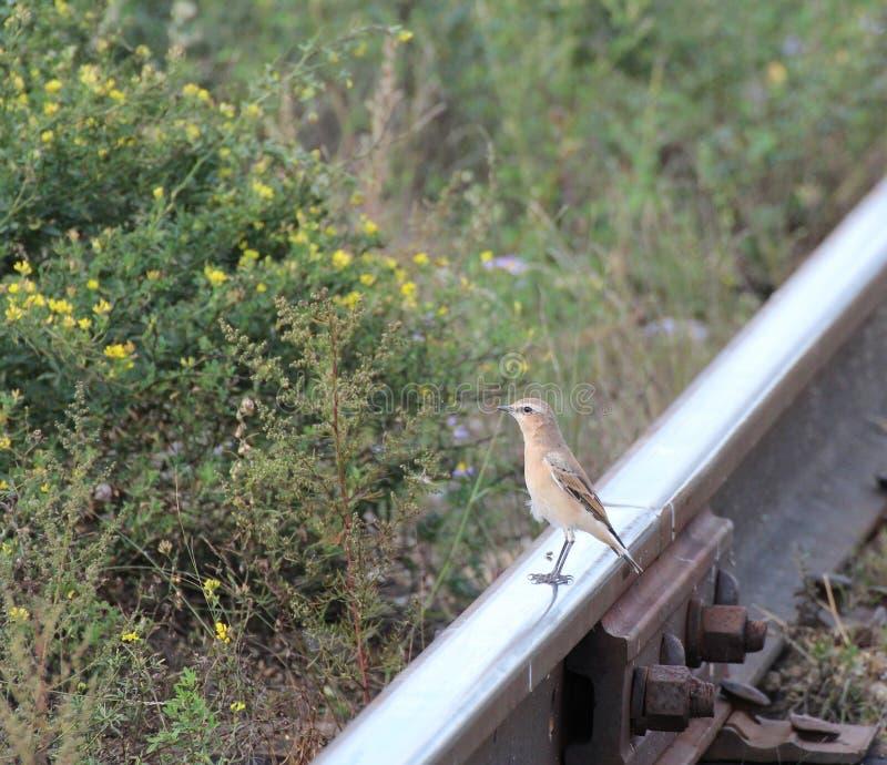 Σιταρήθρα στο σιδηρόδρομο ραγών στοκ εικόνες