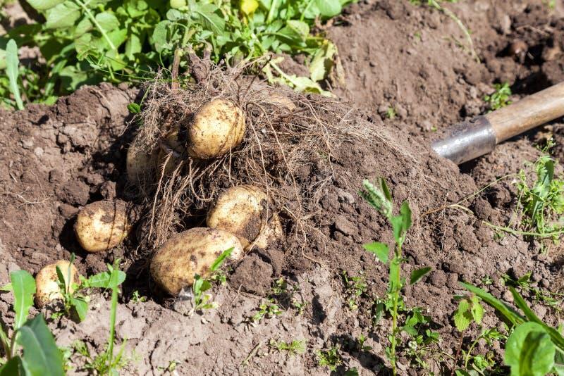 Σκάβοντας πατάτες με το φτυάρι στον τομέα από το χώμα στοκ εικόνα