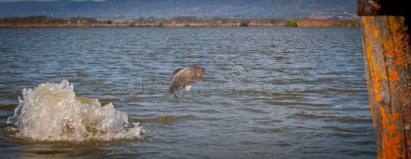 Σκάοντας ψάρια από το νερό, ψάρια, κυπρίνος στοκ εικόνες