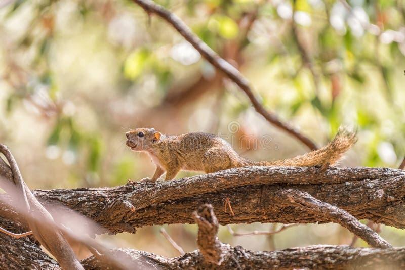 Σκίουρος δέντρων με ένα βελανίδι στο στόμα του στοκ εικόνες