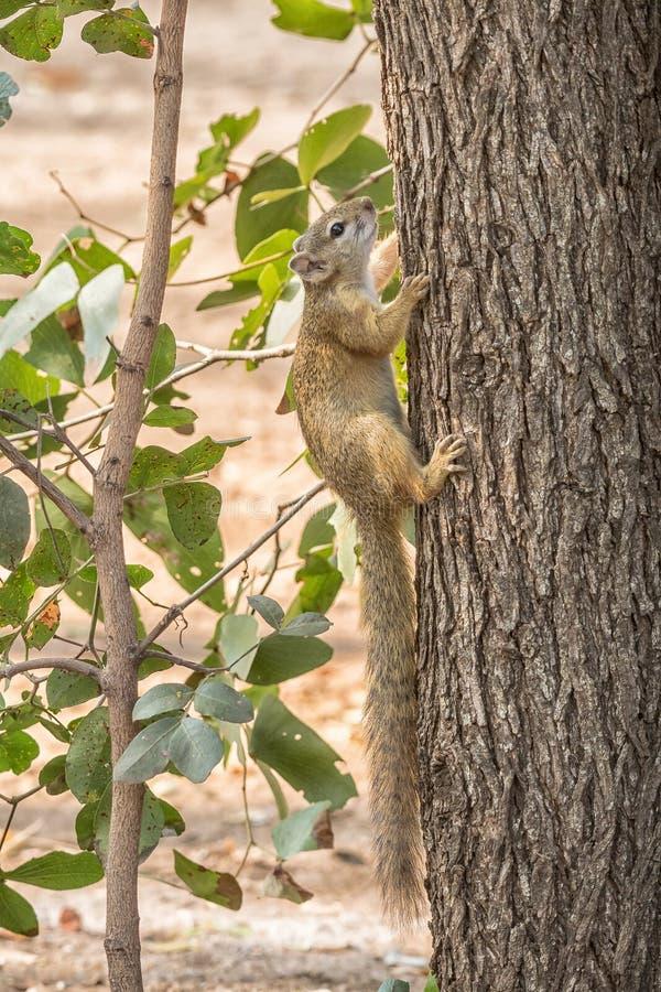 Σκίουρος δέντρων σε ένα δέντρο στοκ φωτογραφίες με δικαίωμα ελεύθερης χρήσης