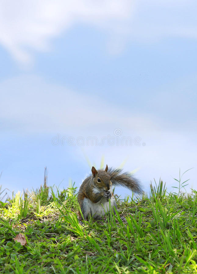 Σκίουρος ενάντια στον ουρανό στοκ εικόνες