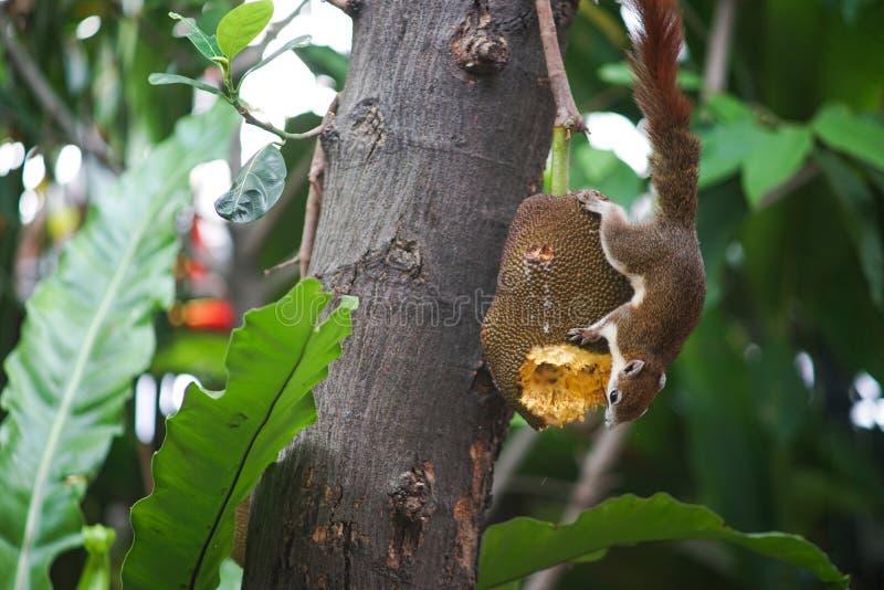 Σκίουρος και το Jackfruit της στοκ φωτογραφία με δικαίωμα ελεύθερης χρήσης
