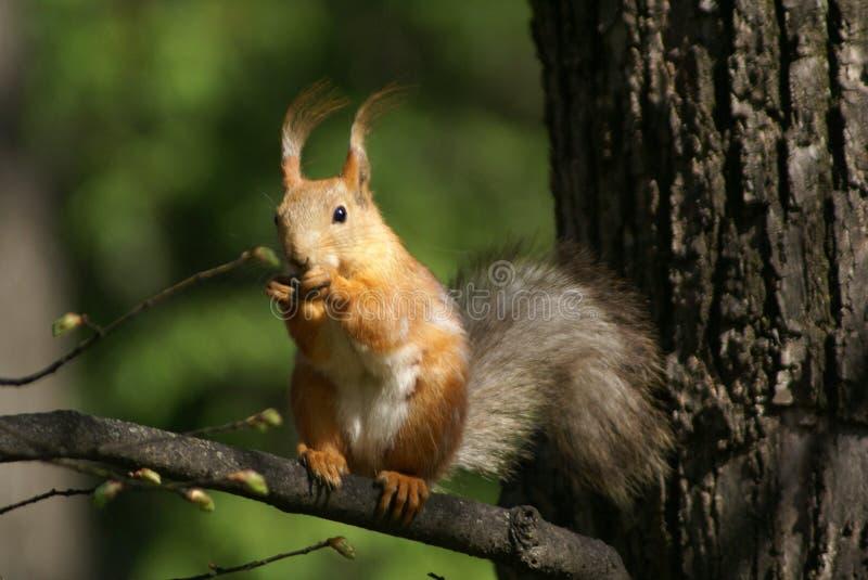 σκίουρος κλάδων στοκ εικόνα με δικαίωμα ελεύθερης χρήσης
