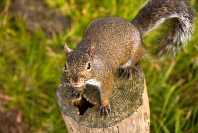 Download σκίουρος ματιών στοκ εικόνα. εικόνα από αγριότητα, έδαφος - 13181407