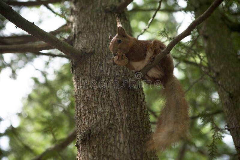 Σκίουρος με ένα καρύδι στοκ εικόνες με δικαίωμα ελεύθερης χρήσης