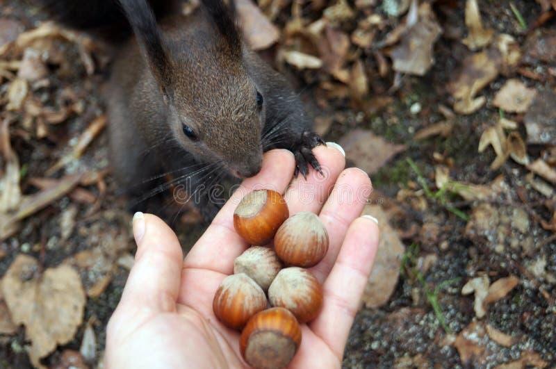 Σκίουρος με τη σκοτεινή γούνα και μια θαμνώδης ουρά που τρώει τα καρύδια στοκ εικόνα