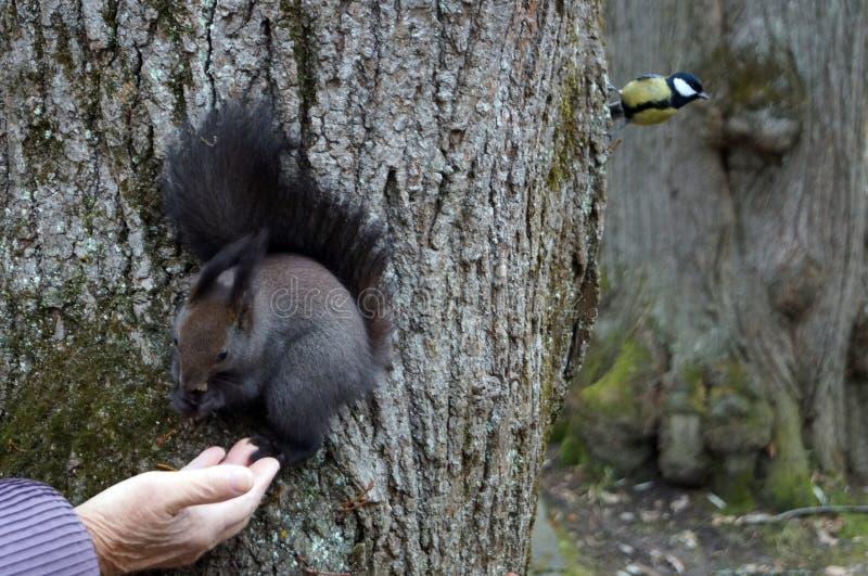 Σκίουρος με τη σκοτεινή τρίχα και μια χνουδωτή ουρά στοκ εικόνες