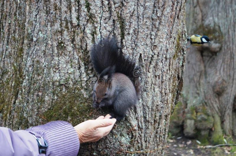 Σκίουρος με τη σκοτεινή τρίχα και μια χνουδωτή ουρά στοκ φωτογραφία με δικαίωμα ελεύθερης χρήσης