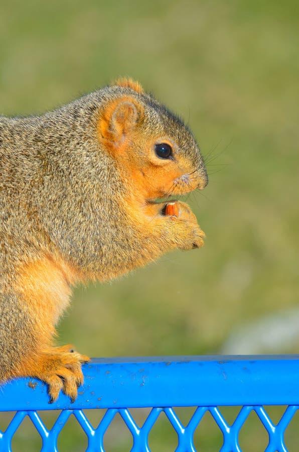 Σκίουρος με το καρύδι στοκ φωτογραφία με δικαίωμα ελεύθερης χρήσης